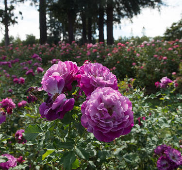 Close up of purple roses and redwood trees inside the stunning Municipal Rose Garden.