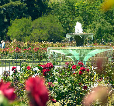 Red roses blooming and surrounding the cascading fountain of the Municipal Rose Garden.